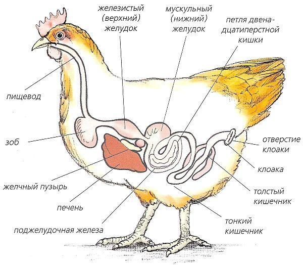 Что делать, если у курицы забит зоб
