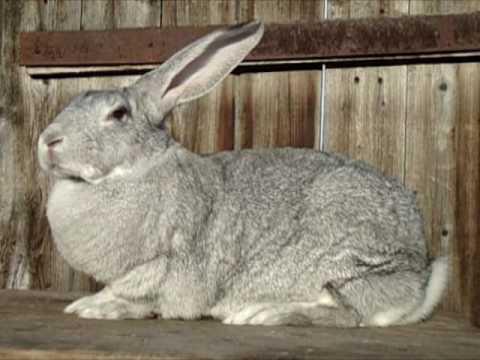 Кролик советская шиншилла: описание породы, разведение и уход