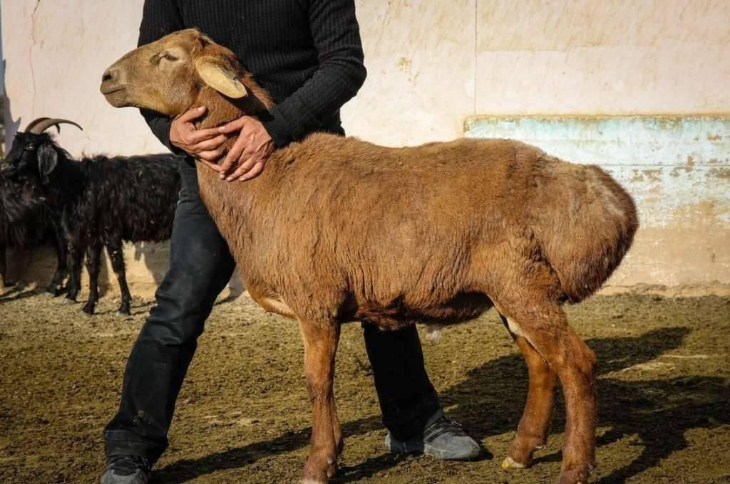 Опыт работы ооо «волгоград-эдильбай» по разведению эдильбаевской породы овец