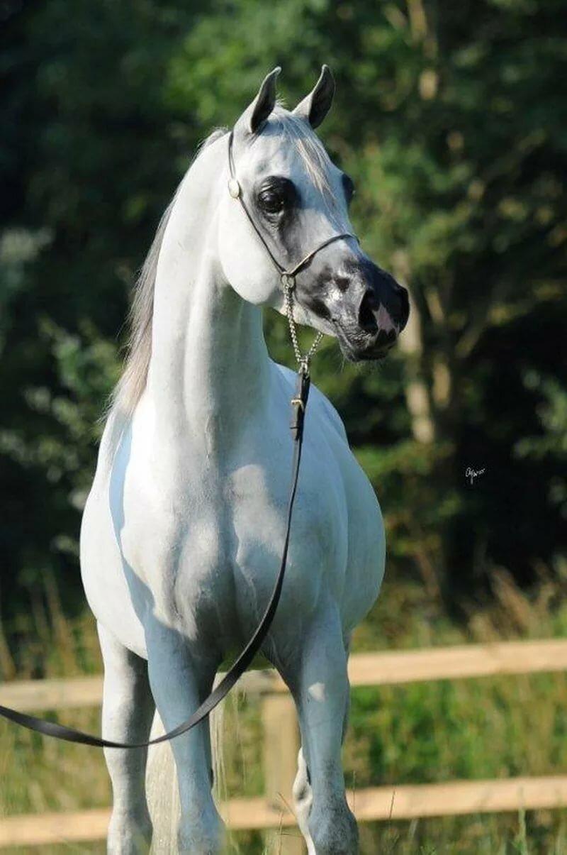 Арабская лошадь: описание породы коней, уход за скакунами, история происхождения