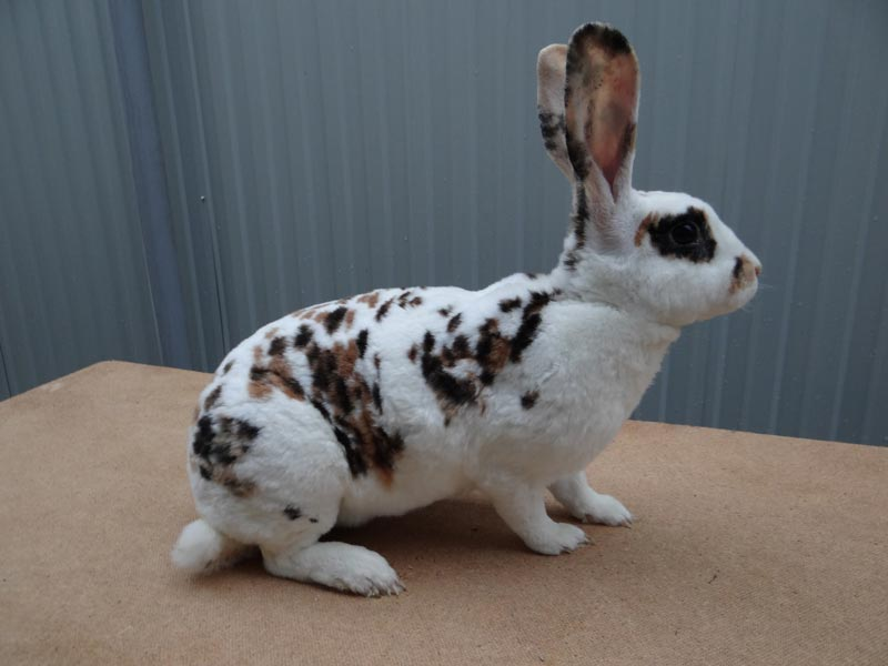 Интересная порода кроликов — бабочка