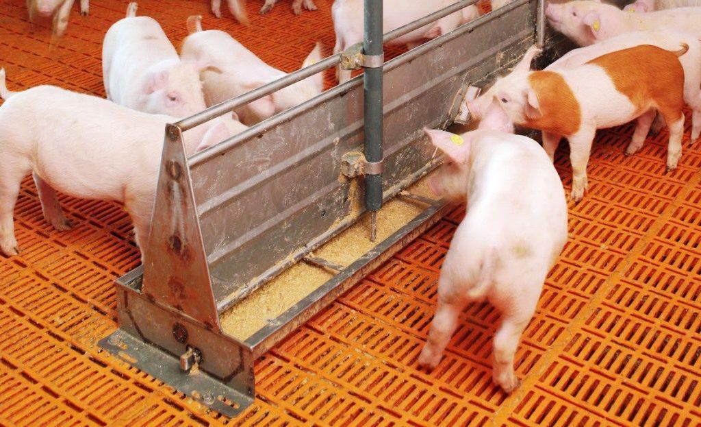 Выращивание и откорм свиньи