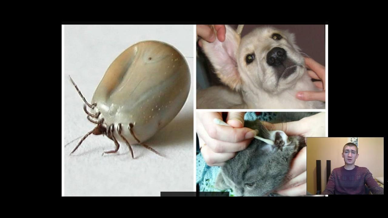 Ушные клещи у кролика — лечение в домашних условиях: народные средства и спрей