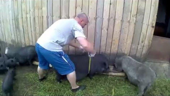 Как зарезать свинью правильно: технология, оборудование, советы