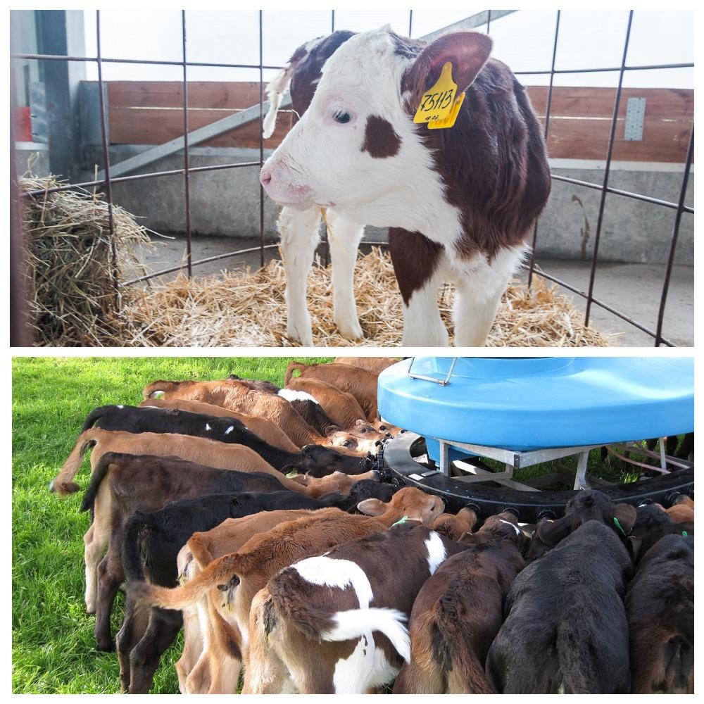 Беременность коровы – как вынашивается теленок 2020