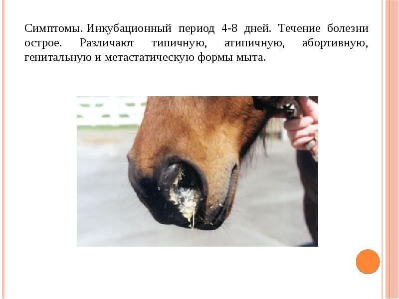 Лептоспироз у лошадей: вакцина, лечение, симптомы, описание и фото болезни
