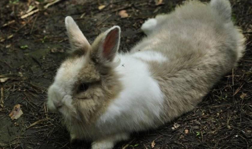 У кролика отказали задние лапы: причины и решение
