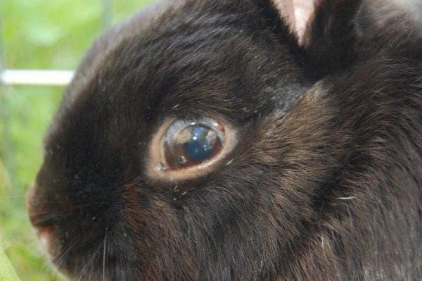 «красные глаза» могут быть и у самого кролика