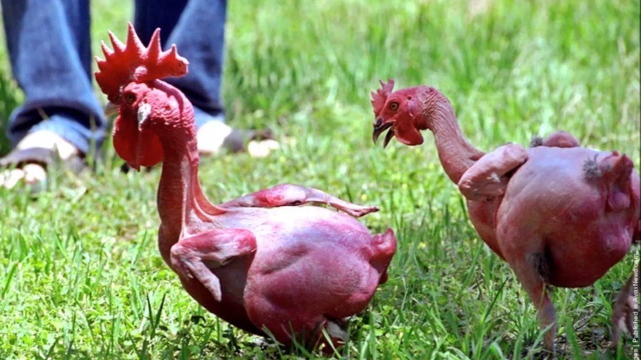 Курчавые куры: описание породы и особенности содержания