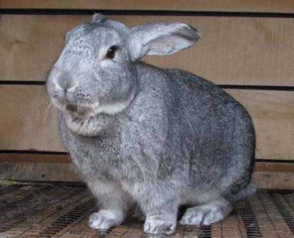 Кролики бсс (большое светлое серебро): описание породы