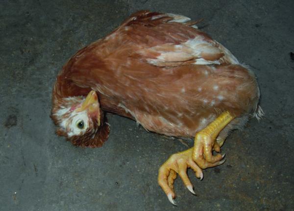 Болезни кур и их лечение – выявляем симптомы и лечим