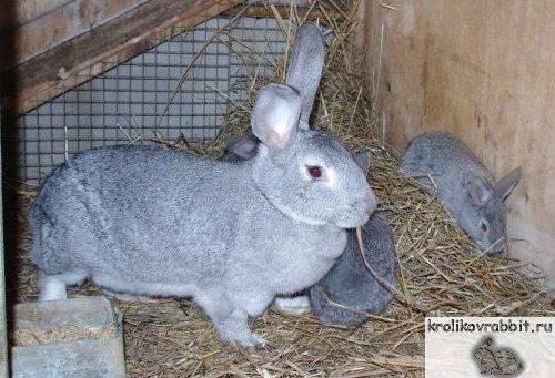 Серебристый кролик: описание породы, достоинства и недостатки, уход и содержание
