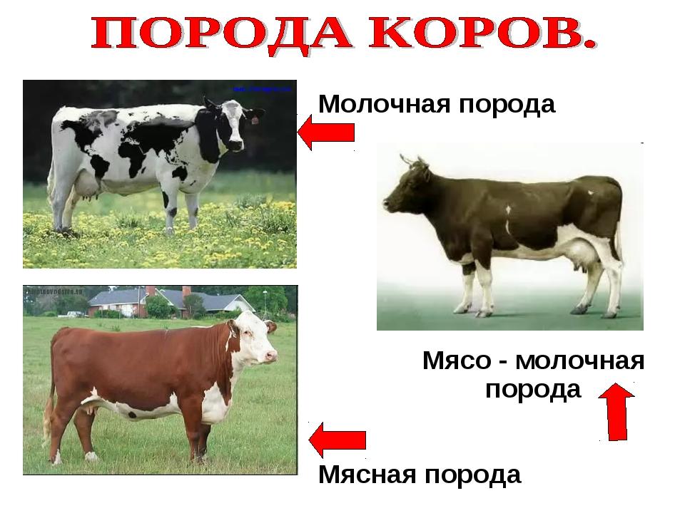 Сколько стоит корова