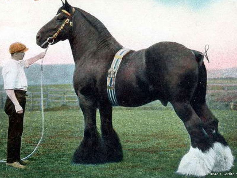Лошади-тяжеловозы мира