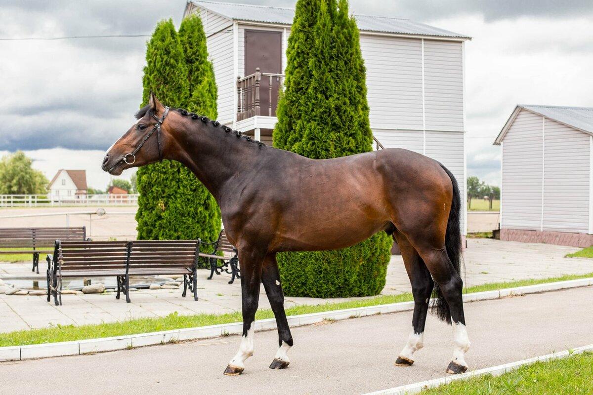 Kwpn порода лошадей — голландская теплокровная