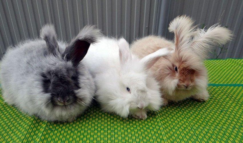 Короткошерстный карликовый кролик