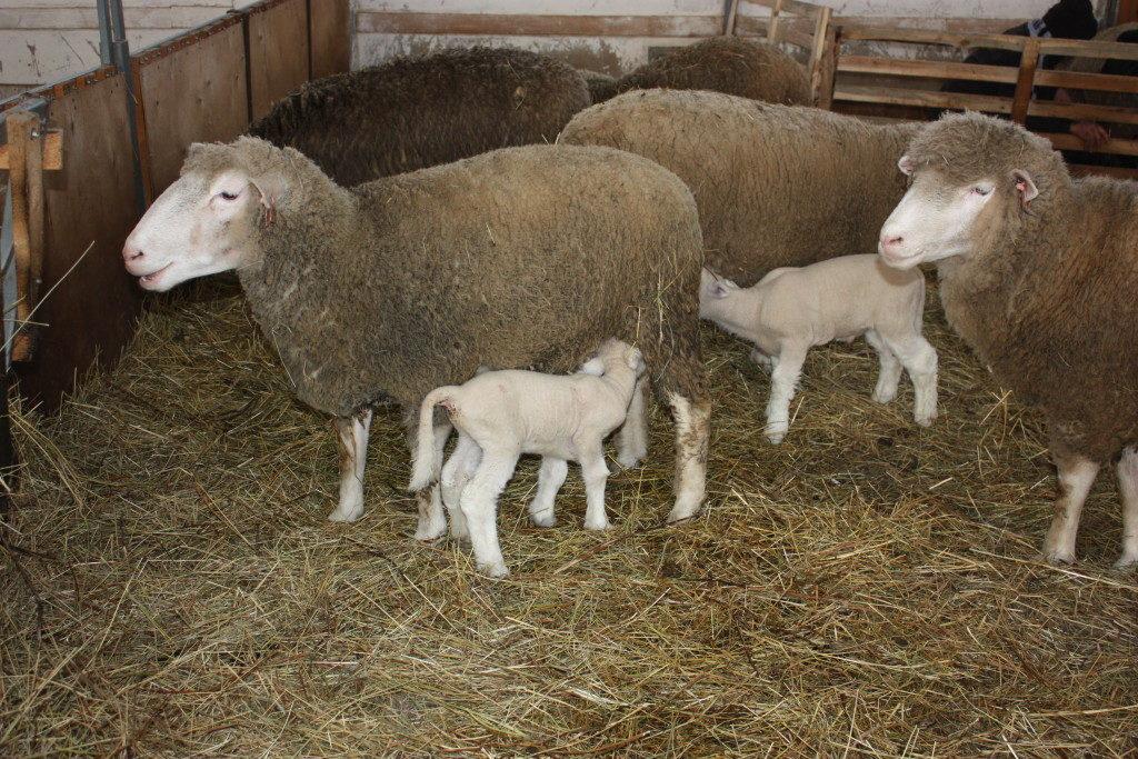 Разведение овец и баранов в домашних условиях для начинающих