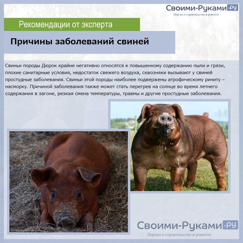 Свиньи дюрок: особенности разведения и ухода — cельхозпортал