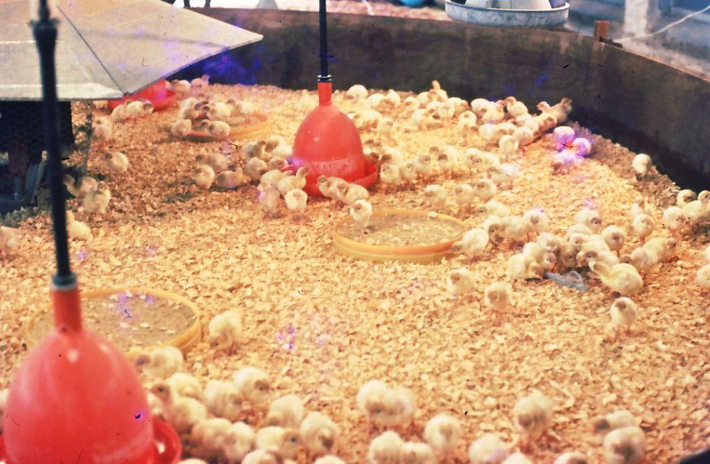 Все о кормлении цыплят-несушек с первых суток жизни