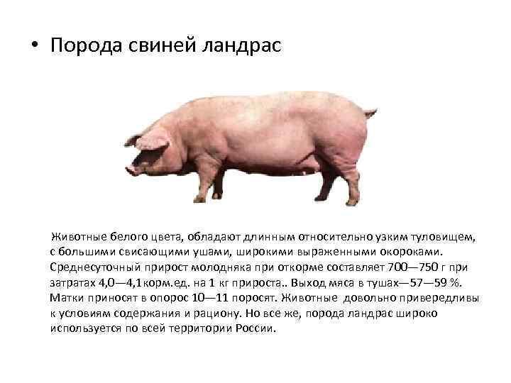 Мясные породы свиней: обзор видов, характеристики продуктивности