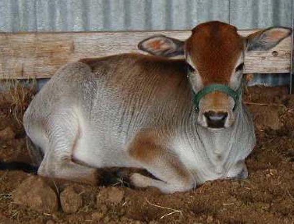 Мини-коровы: обзор пород и особенностей разведения карликового крс