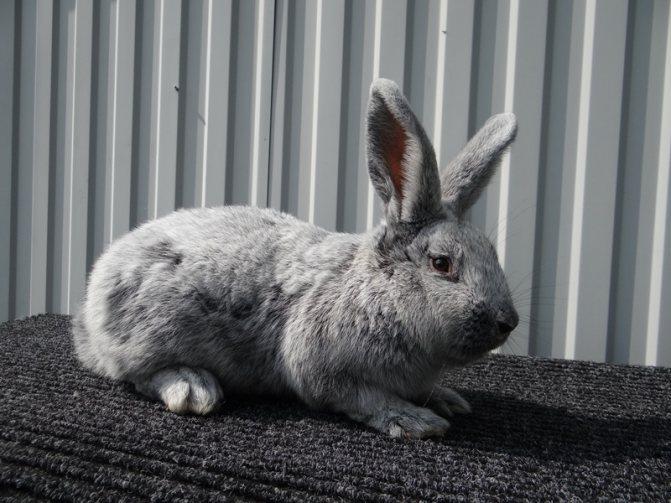 Кролик полтавское серебро — описание и характеристики породы