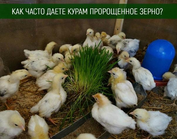 Какой выбрать корм для цыплят: готовые «солнышко», «старт», «рост» или сделанный в домашних условиях своими руками?