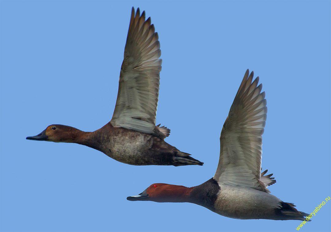 Виды и особенности утки-нырок