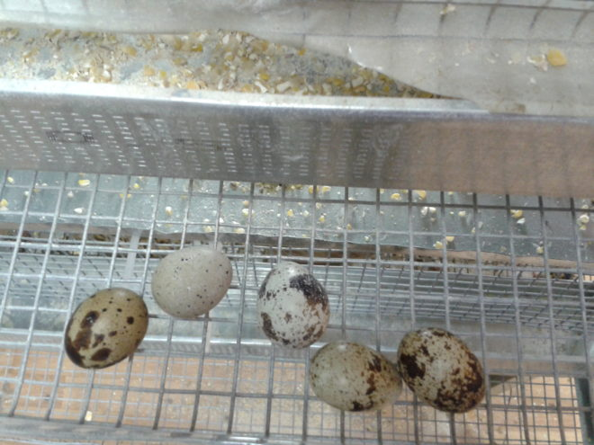 Когда начинают нестись перепела: в каком возрасте несут яйца