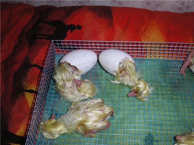 Инструкция по выводу гусей в домашнем инкубаторе: все, что нужно знать птицеводу