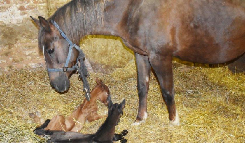 Как рожают лошади: спаривание, содержание беременной лошади и роды - знаток фермы
