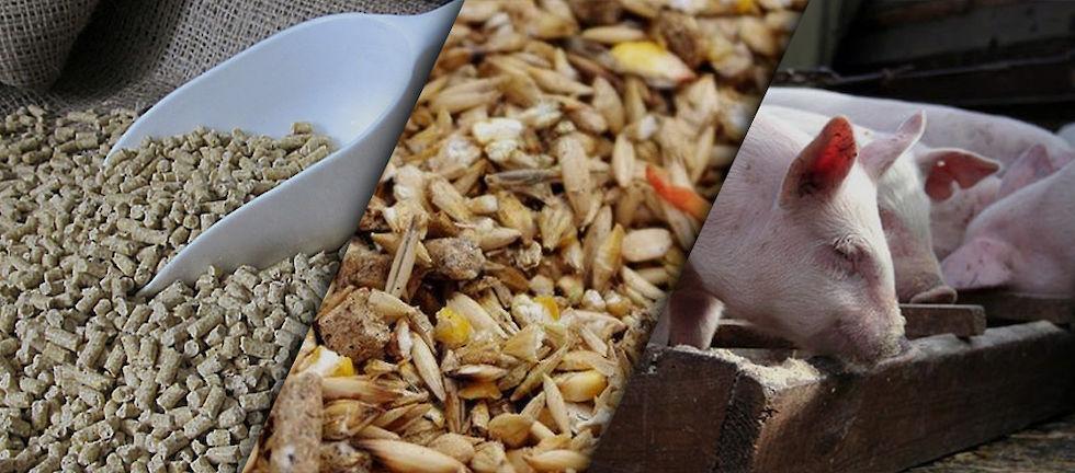 Как и чем кормить свиней? виды кормов, режим питания, фото — ботаничка.ru