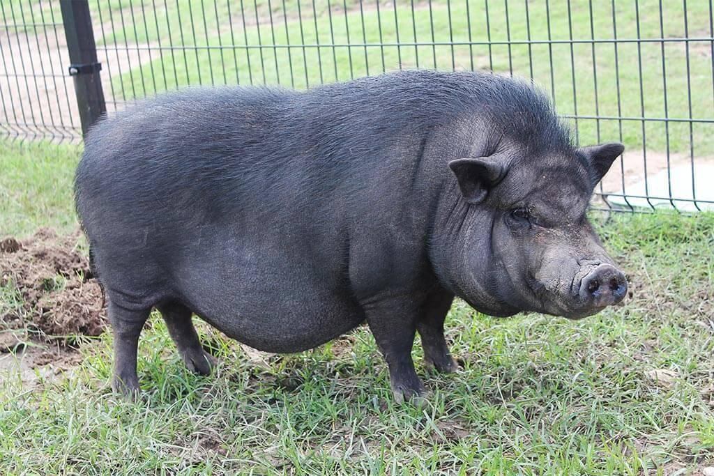 Разведение вьетнамских свиней — намного выгоднее чем обычное свиноводство
