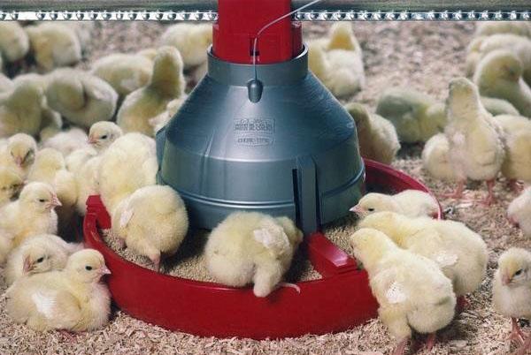 Выращивание и содержание бройлерных цыплят в домашних условиях: чем кормить и как ухаживать