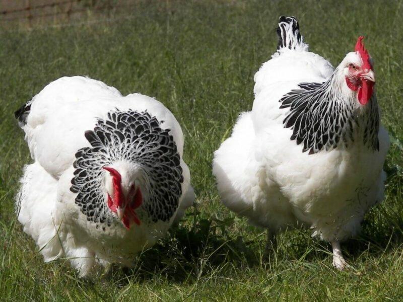 При каких условиях и сколько живёт курица-несушка: породы кур и факторы, влияющие на продолжительность жизни