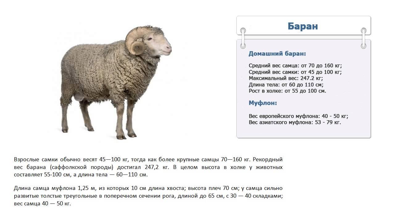 Кормление овец – что ест, кормушки и чем кормить в домашних условиях 2020