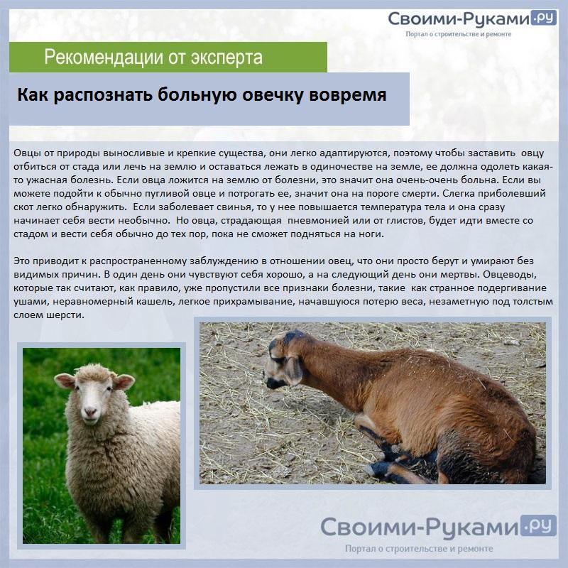 Разведение овец как бизнес: с чего начать, основные затраты