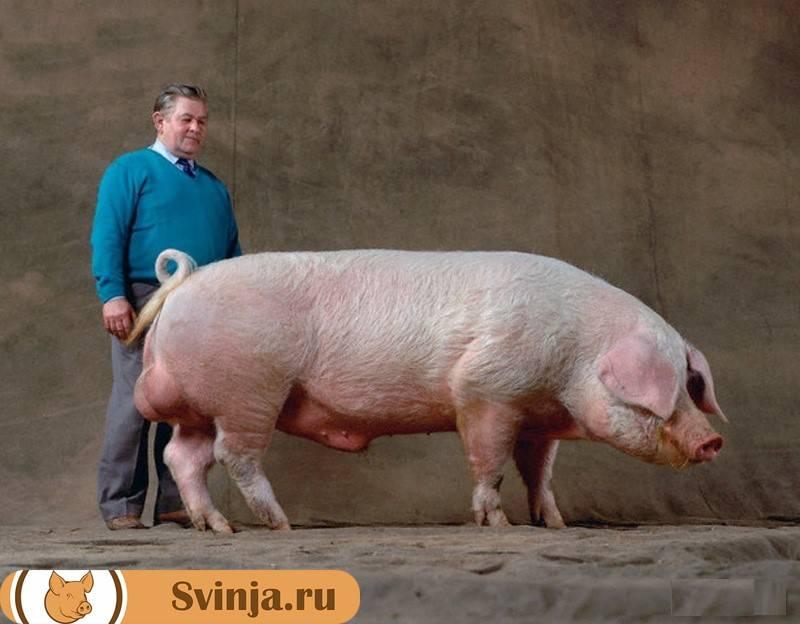 Лучшие мясные породы свиней ? : описание, продуктивность, уход, разведение, достоинства и недостатки
