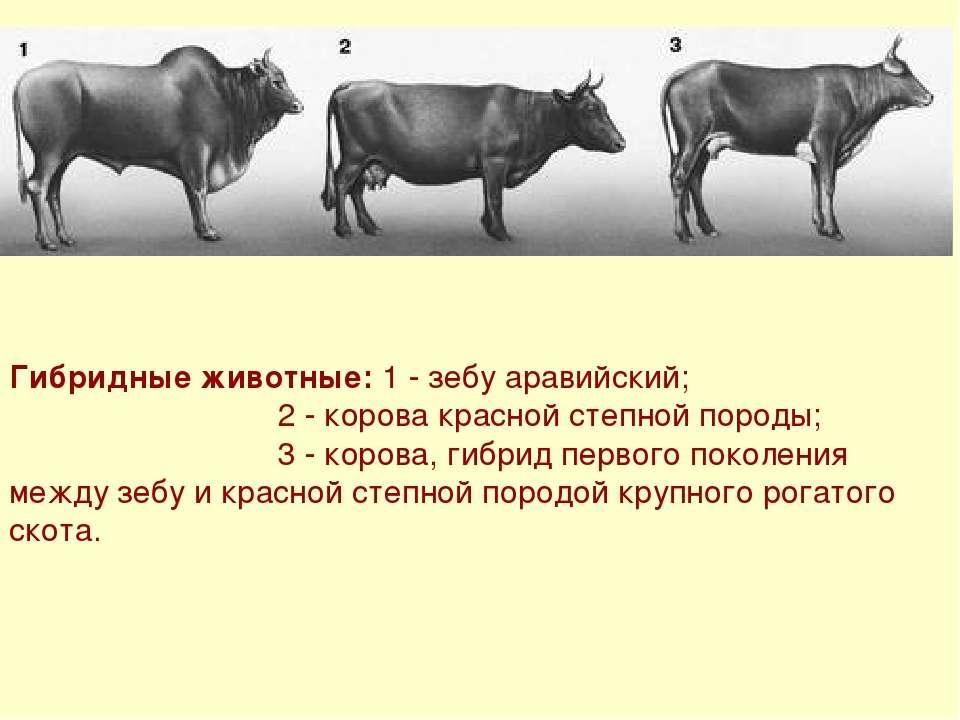 Красно-пёстрая порода коров: характеристика, стандарт, содержание, уход и кормление