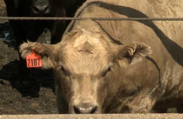 Как лечить кашель у бычка