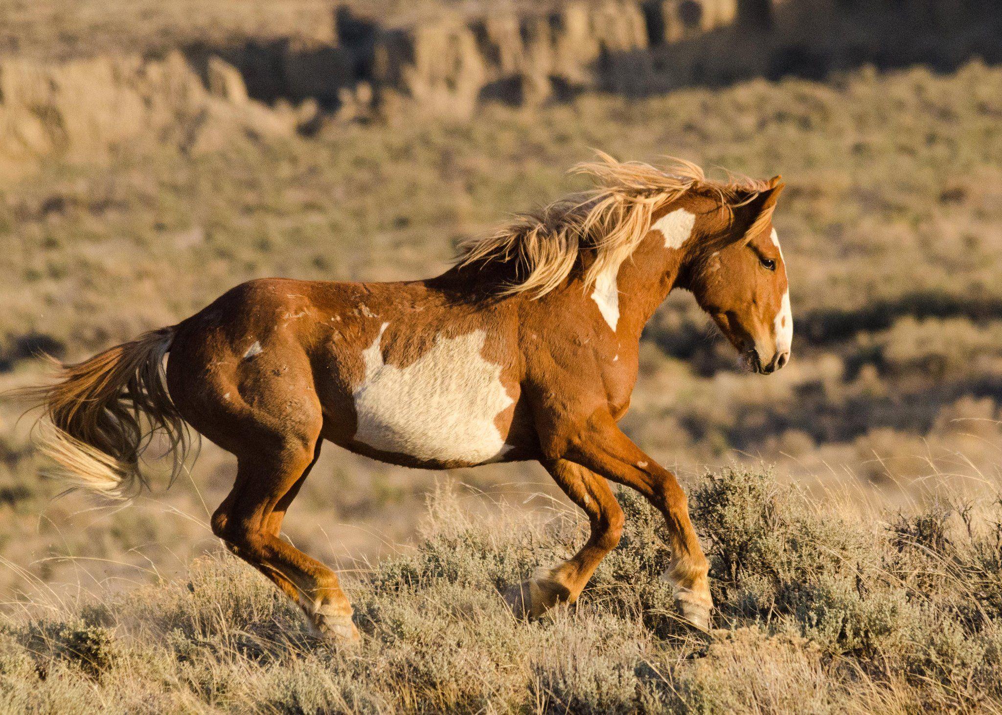 Дикая лошадь - описание, рацион питания, размножение и миграция (115 фото + видео)