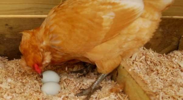 Куры клюют свои яйца – причина и что делать, как отучить?