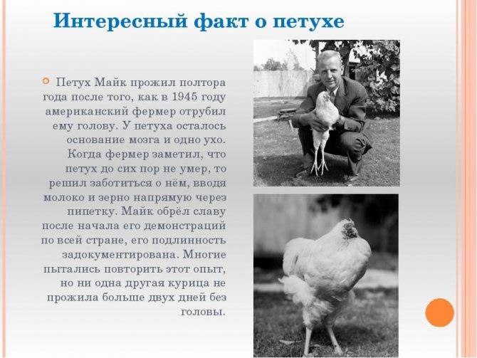 Сколько живут петухи и курицы?