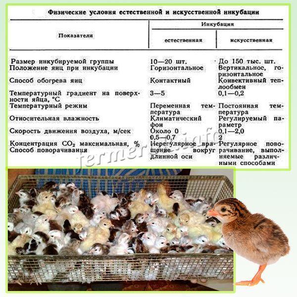 Инкубация яиц фазанов: особенности процесса, типичные ошибки новичков