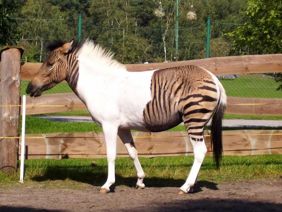 Гибриды лошадей с другими животными 2020