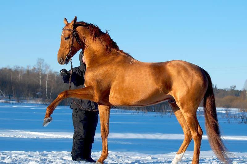 О буденновской породе лошадей: относится к верховым, описание