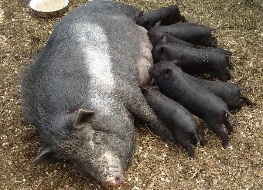 Порода свиней кармалы: продуктивность и особенности содержания