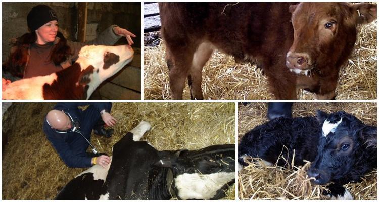Лептоспироз у животных: возбудитель, симптомы, лечение и профилактика