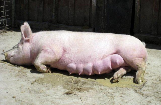 Сколько длится беременность у свиноматки, опорос в домашних условиях