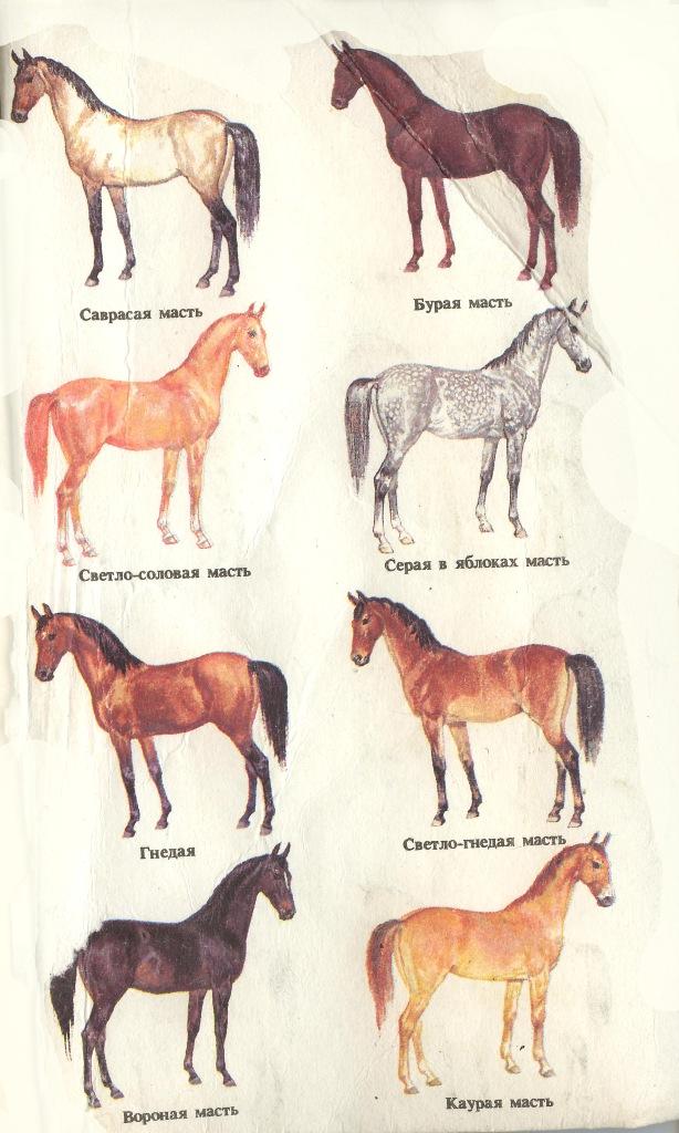 ✅ о породах лошадей: все породы лошадей от а до я, название, описание, характеристики - tehnomir32.ru